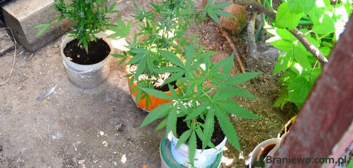 W gołębniku zamiast gołębi hodował marihuanę